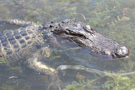 Alligators, such as this one seen in Louisiana in April 2017, are freshwater giant reptiles that could easily attack humans and