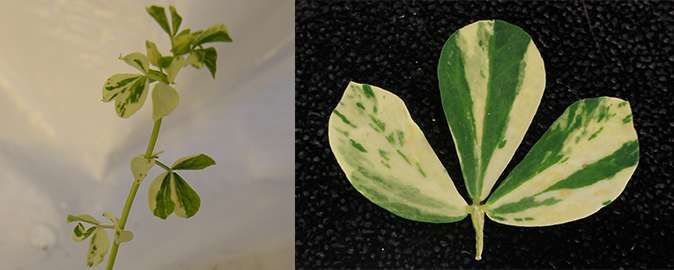 A mutation giving leaves with white spots has been identified