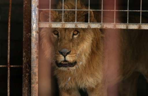 An abandoned lion, Simba, stands in its cage at the Muntazah al-Nour zoo in eastern Mosul on February 21, 2017