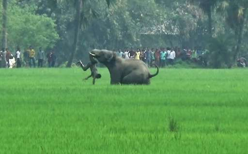 An elephant attacks an Indian man in a village in West Bengal state. Endangered elephants and tigers are killing one person a da