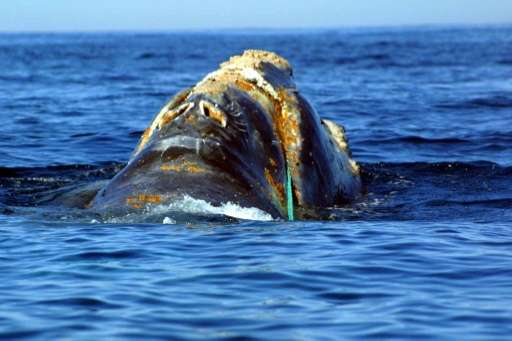 An endangered North Atlantic right whale entangled in heavy plastic fishing link off Cape Cod, Massachusetts
