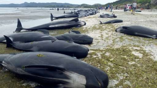 An estimated 666 pilot whales were stranded in two pods at Farewell Spit, on the northern tip of New Zealand's South Island