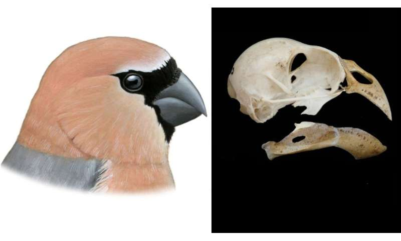 A new bird which humans drove to extinction discovered in Azores