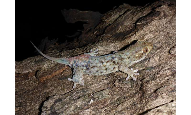 A new species of gecko with massive scales and tear-away skin