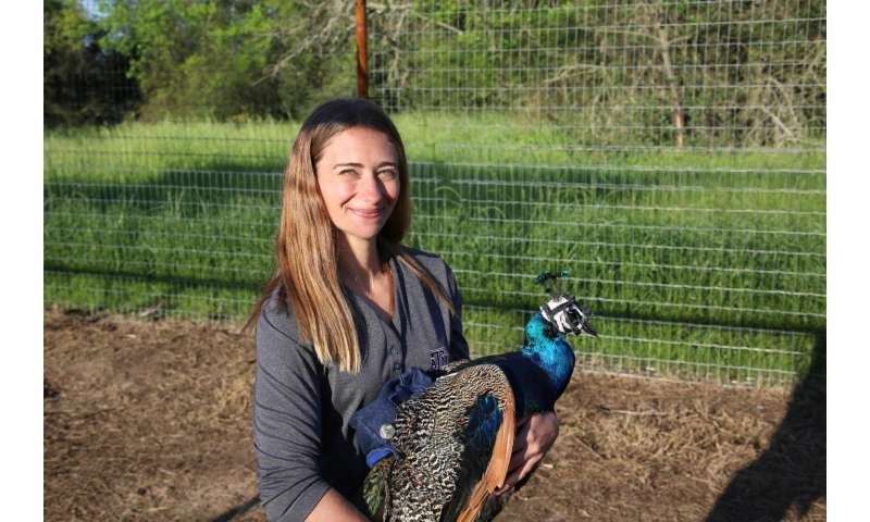 Animal behaviorist looks through the eyes of peafowl