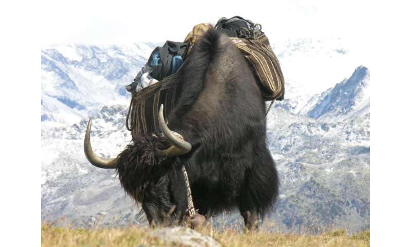Animal genetics: The bovine heritage of the yak