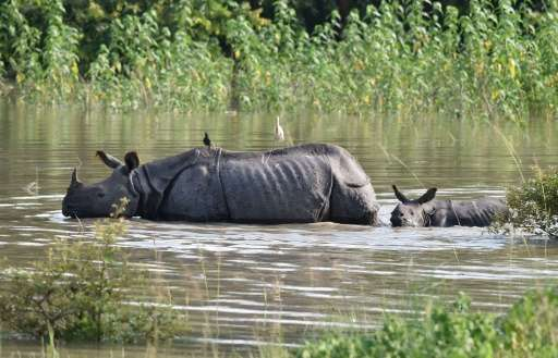 An Indian one-horned rhinoceros and calf wade through flood waters at a submerged area of the Pobitora wildlife sanctuary in Ind
