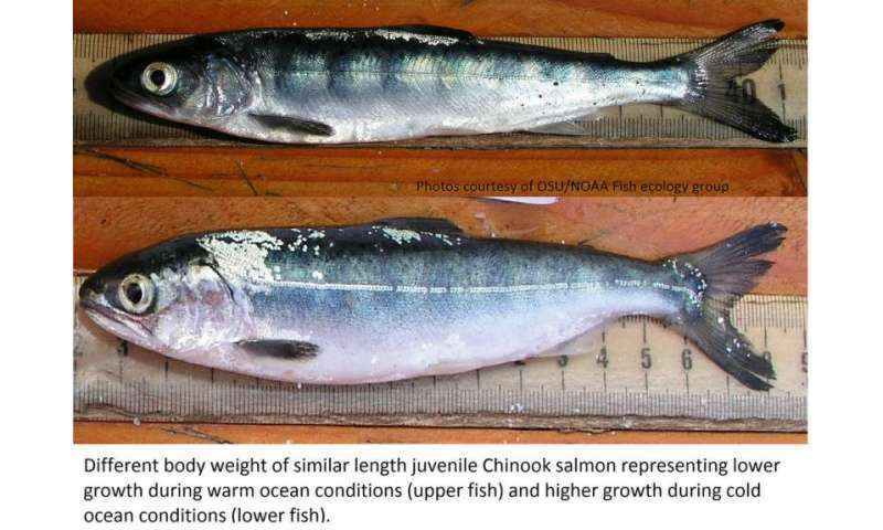 Anomalous ocean conditions in 2015 may bode poorly for juvenile Chinook salmon survival