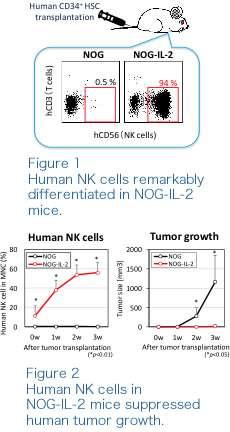 A novel animal model for analysing human natural killer cell functions in vivo.