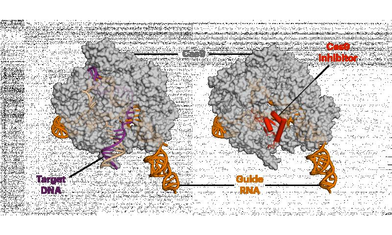 Anti-CRISPR proteins decrease off-target side effects of CRISPR-Cas9