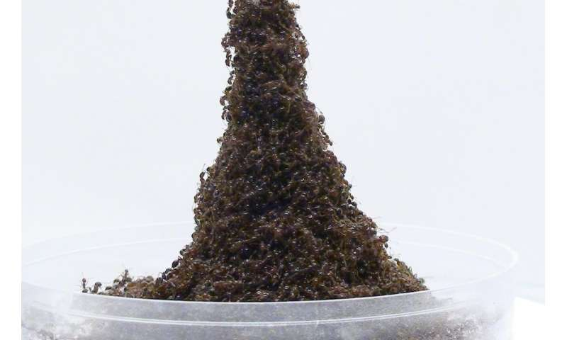 Ants build sinking Eiffel Towers when trying to escape