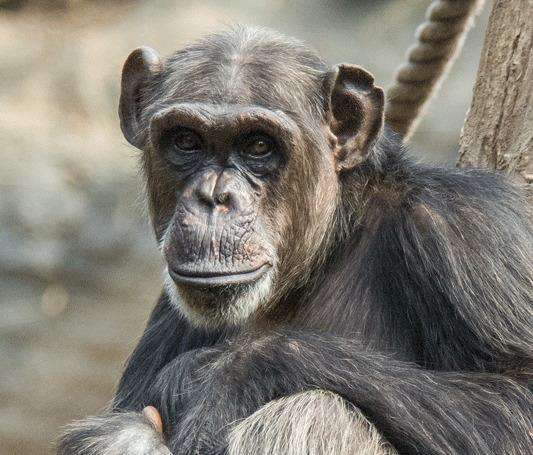 Apes only provide food to conspecifics that have previously assisted them