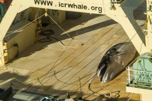 A photo released by activist group Sea Shepherd on January 15, 2017 purportedly shows a dead minke whale onboard Japanese ship t
