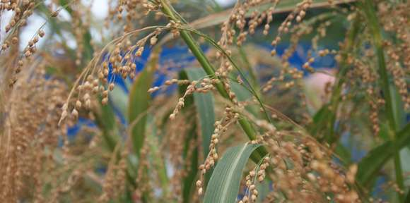 Archaeology shows there's more to millet than birdseed