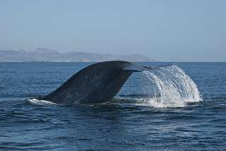 """Are blue whales finding new """"microphone channel"""" to communicate in?"""