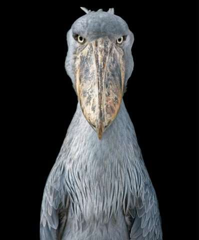 "A Shoebill looks straight into Tim Flach's camera in this picture part of the book ""Endangered"""