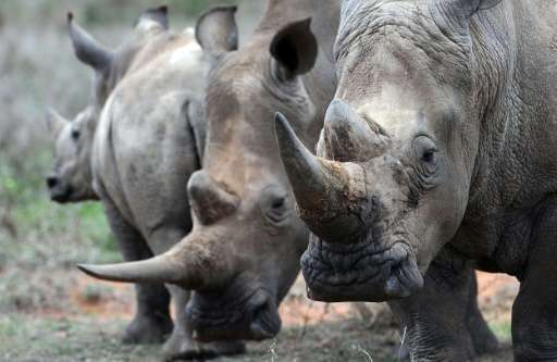 A team of scientists recreated the signature dung smell of territorial male and of female rhinos in heat, then spread the synthe