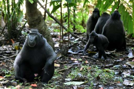 A troop of black crested macaques (Macaca nigra), seen at the Tangkoko nature reserve in northern Sulawesi, Indonesia