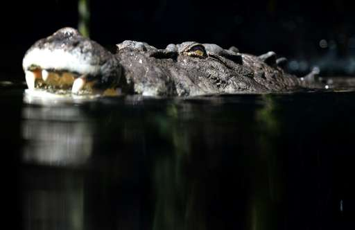 Australia is home to freshwater and saltwater crocodiles with the more feared 'salties' growing up to seven metres long