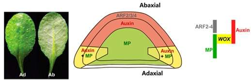 Auxin drives leaf flattening