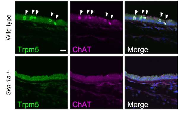 A whole-body approach to understanding chemosensory cells