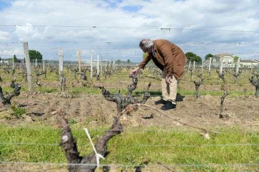 A wine grower checks vineyards hit by a late-season frost near Saint-Emilion in France's Bordeaux region