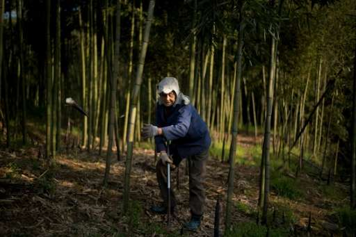 A woman harvests bamboo in Shimen village near the city of Lin'an, Zhejiang Province