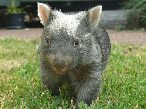 Awwwww... George the orphaned baby wombat—practically the walking definition of 'cute'—has turned one, an event marked by a new