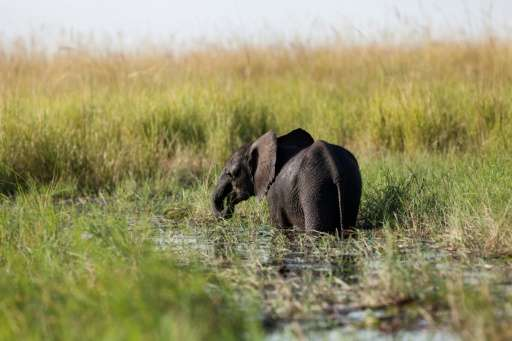 A young elephant grazes in the Chobe river in Botswana Chobe National Park, in the north eastern of the country on March 20, 201