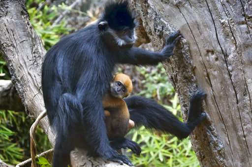 Baby monkeys swing into view at Los Angeles Zoo