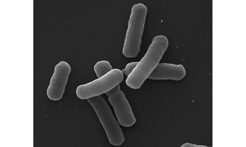 Bacteria take a deadly risk to survive
