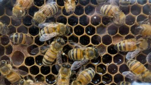 "Bees help pollinate 90 percent of the world's major crops, but in recent years have been dying off from ""colony collapse di"