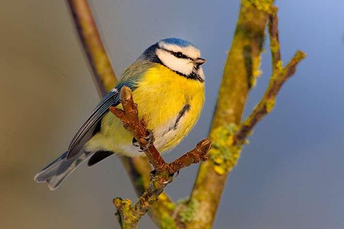 Begging blue tit nestlings discriminate between the odour of familiar and unfamiliar peers