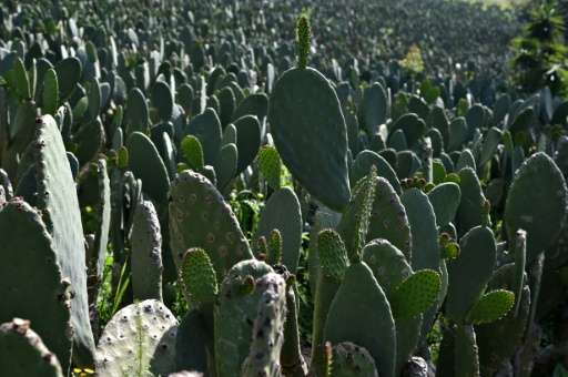 Believed by some to have healing powers, the prickly pear cactus is also used in blood pressure medications, anti-hair loss sham
