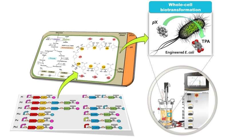 Bio-based p-xylene oxidation into terephthalic acid by engineered E. coli