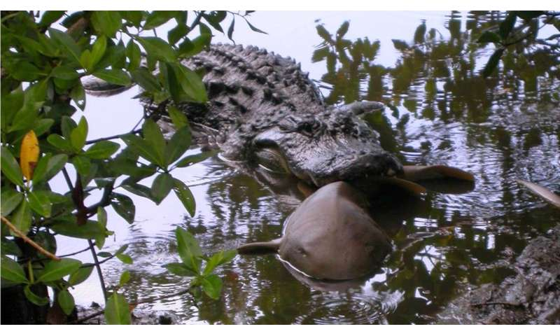 Bite on this: Kansas State University researcher finds alligators eat sharks
