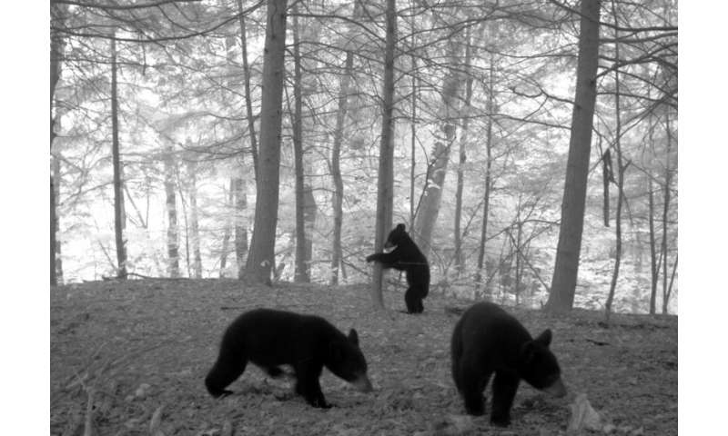 Black bears on the move in upstate New York