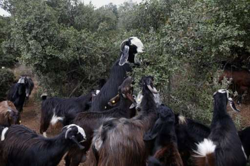 Black goats, also referred to as the Syrian goat, graze near Moshav Nes Harim in central Israel's Judean foothills