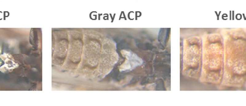 Blue-bellied insects may play a role in the fight against citrus greening