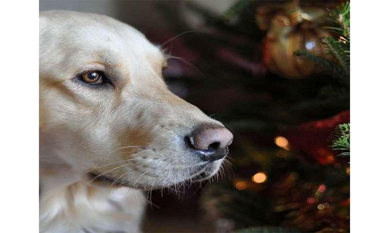 Bone treats a dangerous stocking stuffer for dogs