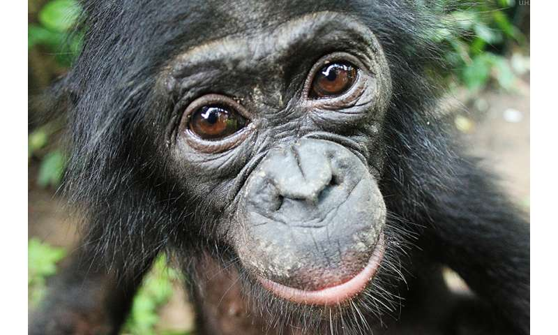 Bonobos help strangers without being asked