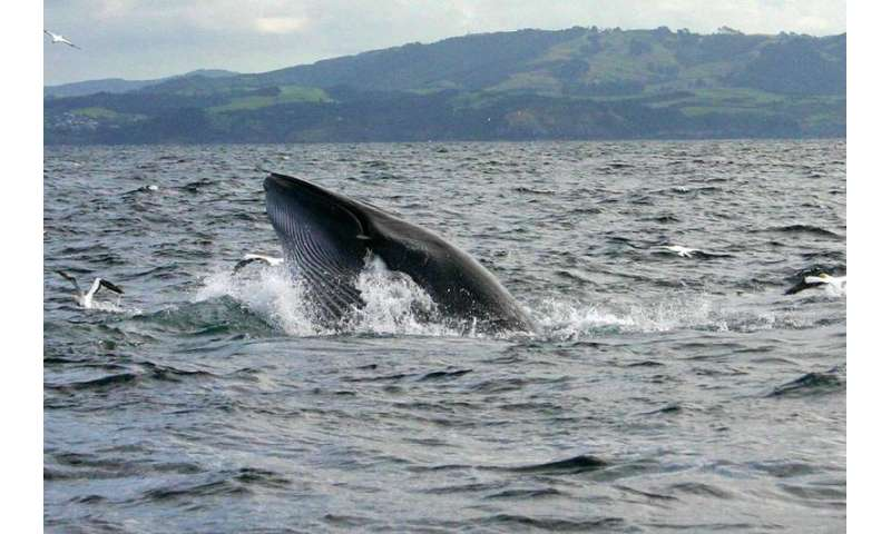 Bryde's whales share secrets with their fins