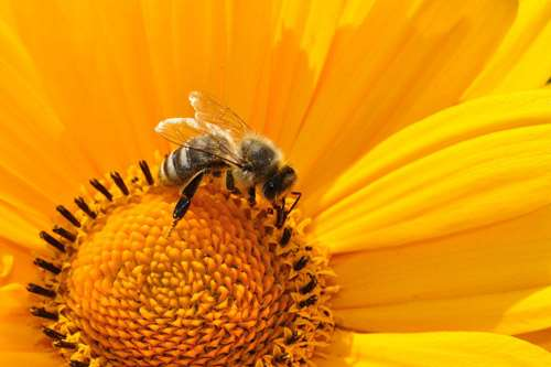 Bumblebees' smelly feet help determine where to find lunch