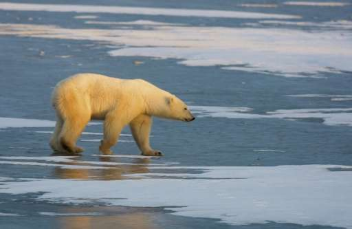By the time chemicals travel, say, from plankton to fish to seals to polar bears, the compounds accumulate into highly toxic dos