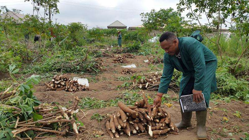 Cassava is genetically decaying, putting staple crop at risk