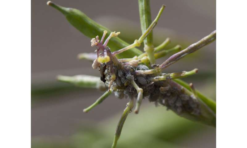 Caterpillar attacks allow aphids to sneak up on plants