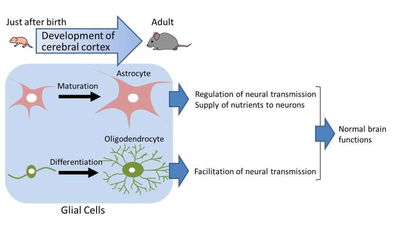 CD38 gene is identified to be important in postnatal development of the cerebral cortex