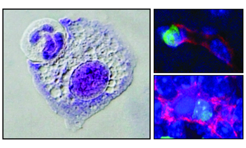 Cell 'canibalism' educates our defenses