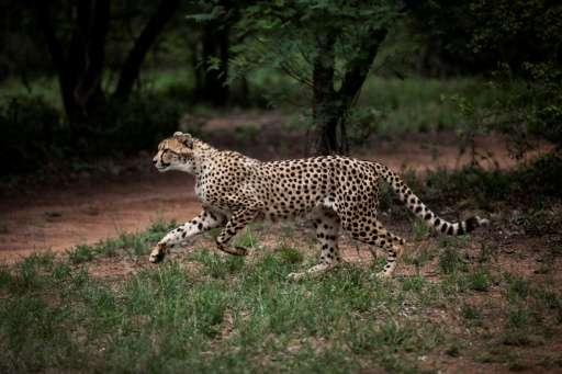 Cheetahs travel widely in search of prey with some home ranges estimated at up to 3,000 square kilometres