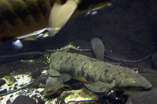 Chicago aquarium euthanizes more than 90-year-old lungfish